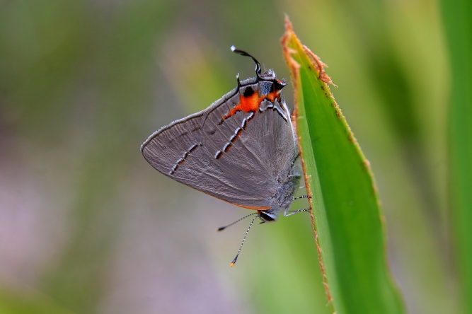 Gray Hairstreak | June 28 | Alice Mary Herden