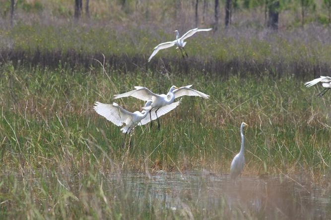 Great Egret | Alice Mary Herden