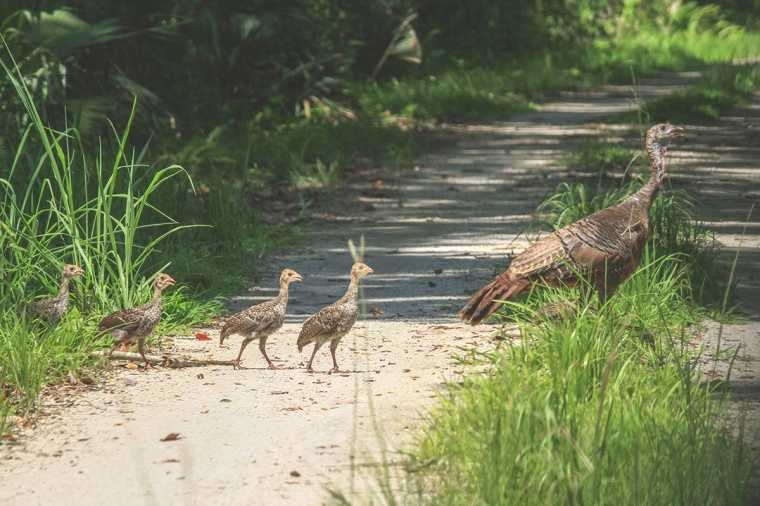Wild Turkey and Chicks.jpg