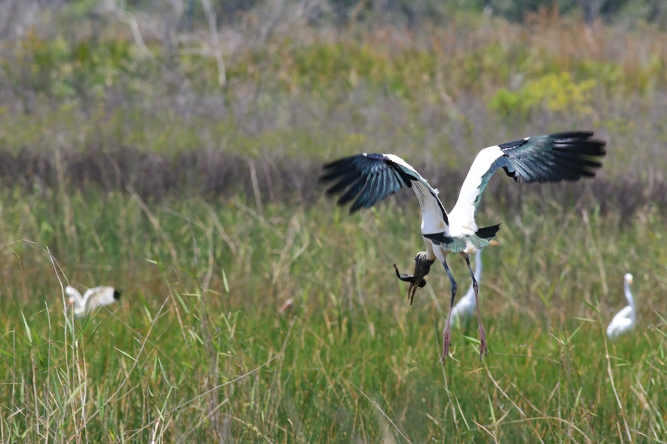 Wood Stork 2