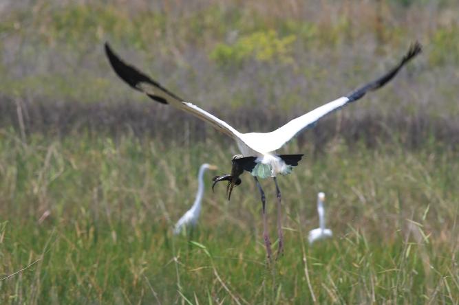 Wood Stork | Alice Mary Herden
