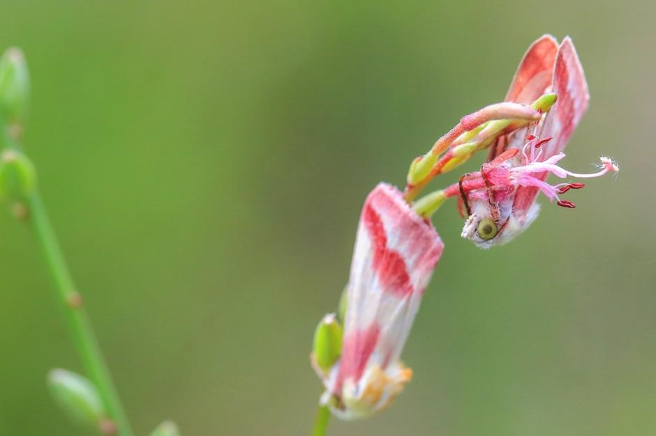 Crimson Clouded Moth | June 30 | Alice Mary Herden