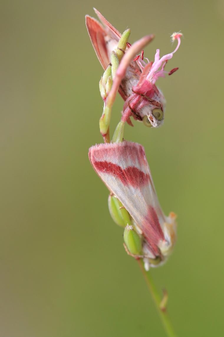 Clouded Crimson Moth | June 30 | Alice Mary Herden