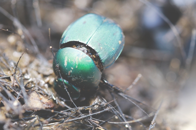 Dung Beetles | July 22 | Alice Mary Herden