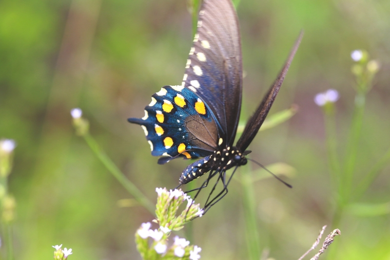 Pipevine Swallowtail | July 18 | Alice Mary Herden