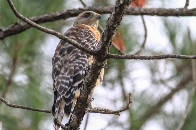 Red-Shouldered Hawk | July 29 | Alice Mary Herden