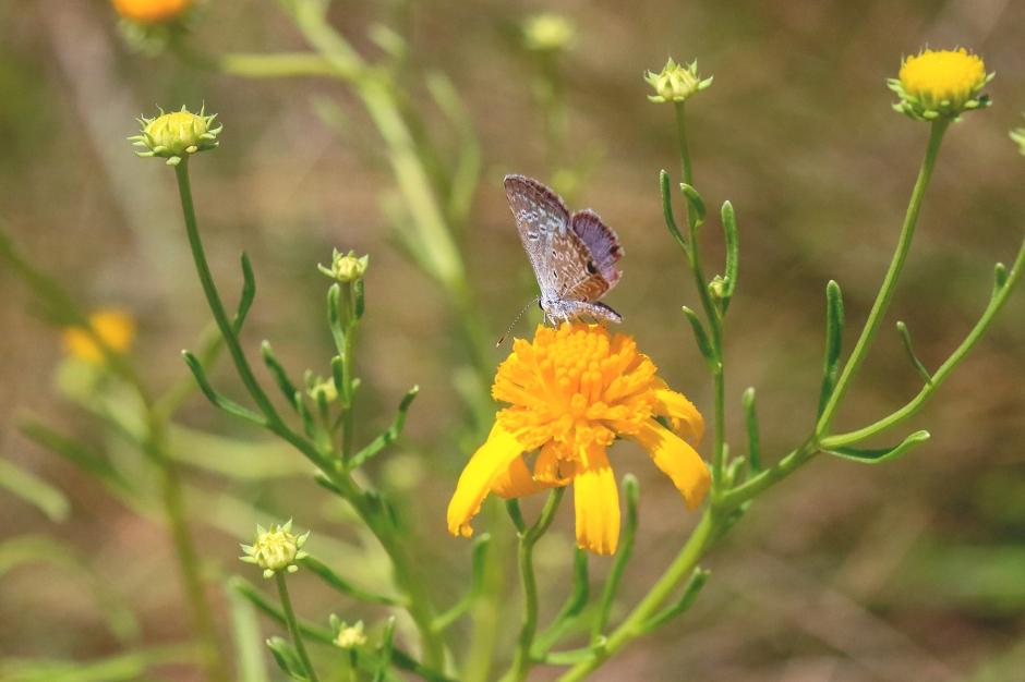 Ceraunus Blue Butterfly | September 2019 | Alice Mary Herden