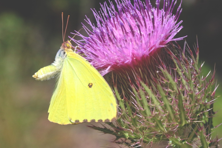 Cloudless Sulphur | September 2019 | Alice Mary Herden