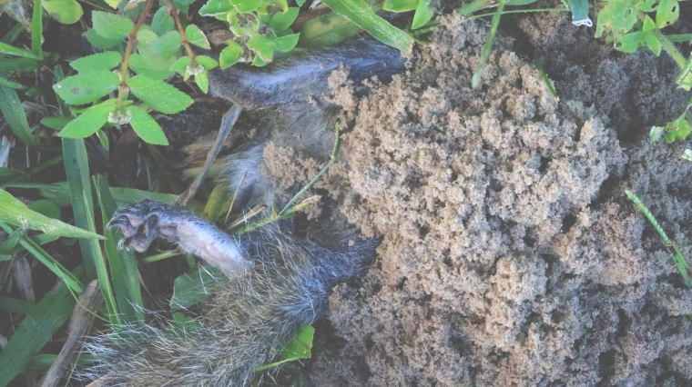 Deceased squirrel is being buried by Round Neck Sexton Beetles