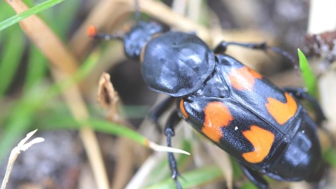 Roundneck Sexton Beetle   Alice Mary Herden   Oct 2019