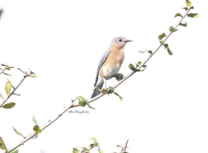 Easter Bluebird_Print