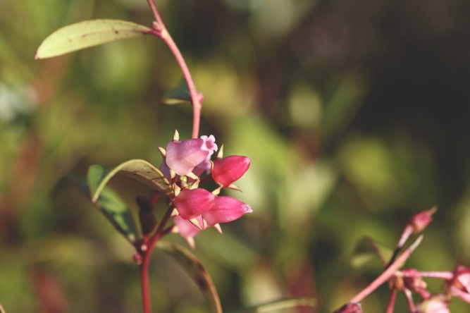 Fetterbush 1