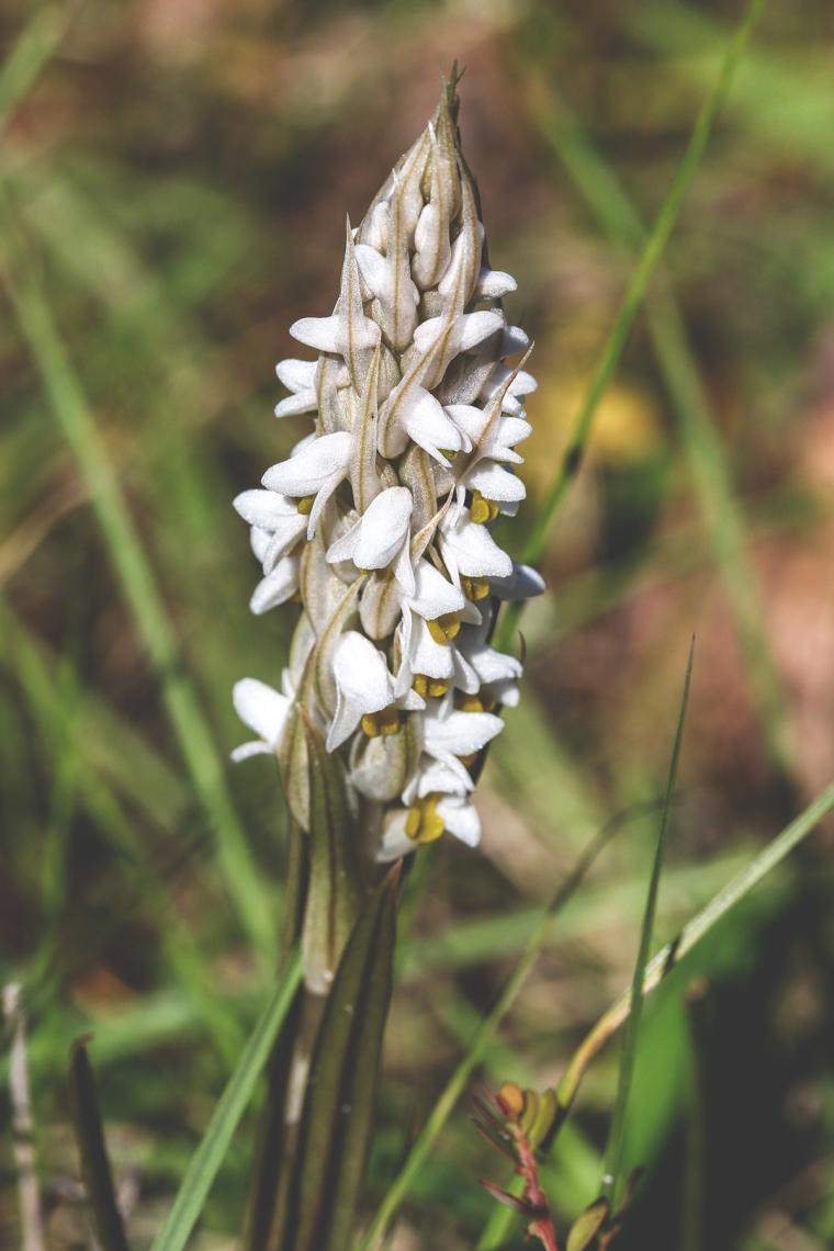 CEntipede orchid 3.jpg