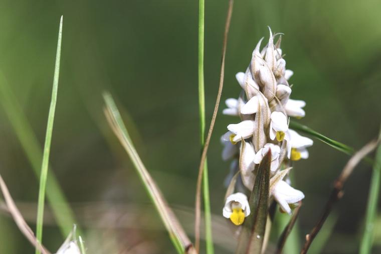 CEntipede orchid.jpg