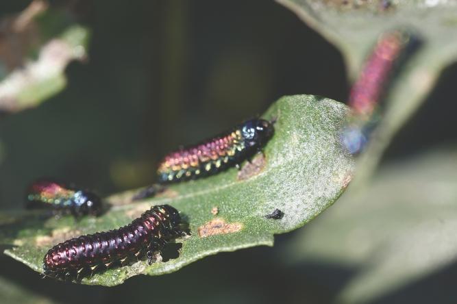 Groundselbush Beetle 1