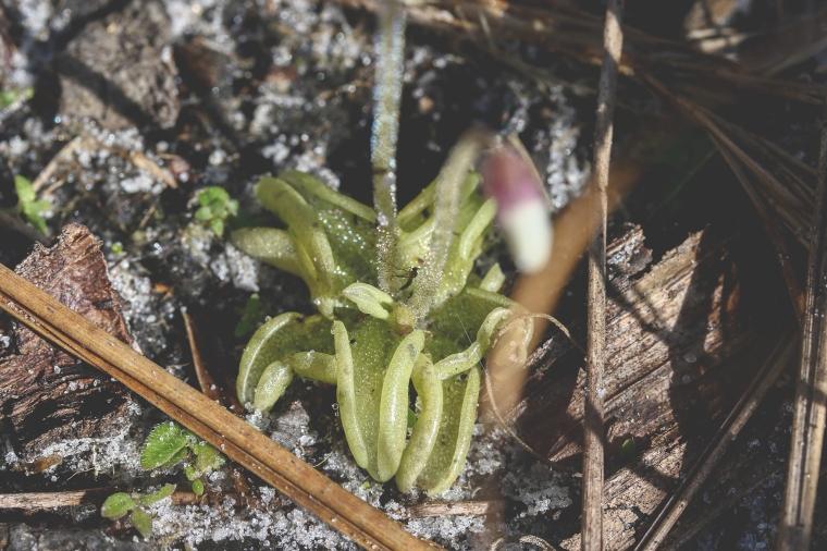Small Butterwort 4-1