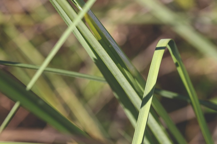 Warty Sedge   March 2020   Alice Mary Herden