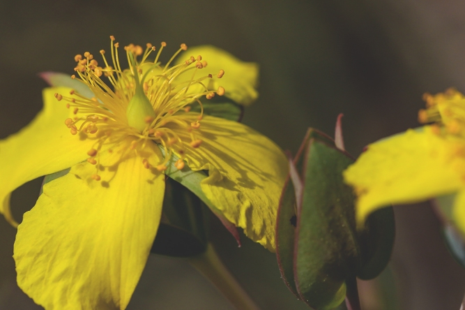 Fourpetal St. Johnswort | March 2020 | Alice Mary Herden
