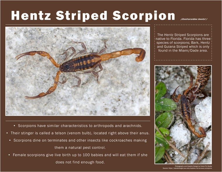 Hentz Striped Scorpion-Small