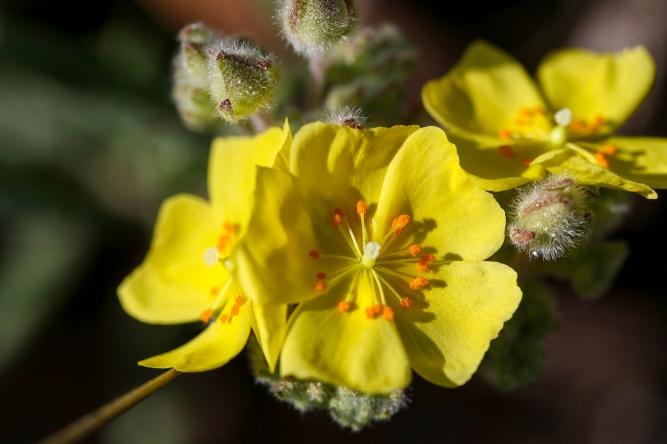 Pine Barren Frostweed | Alice Mary Herden | March 2020
