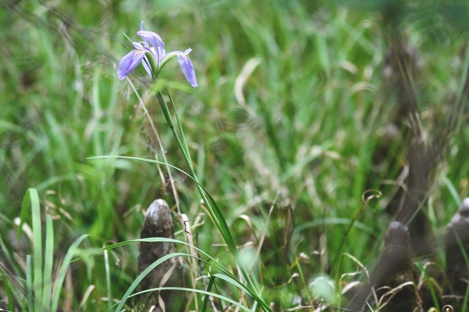 Savanna Iris | March 2020 | Alice Mary Herden