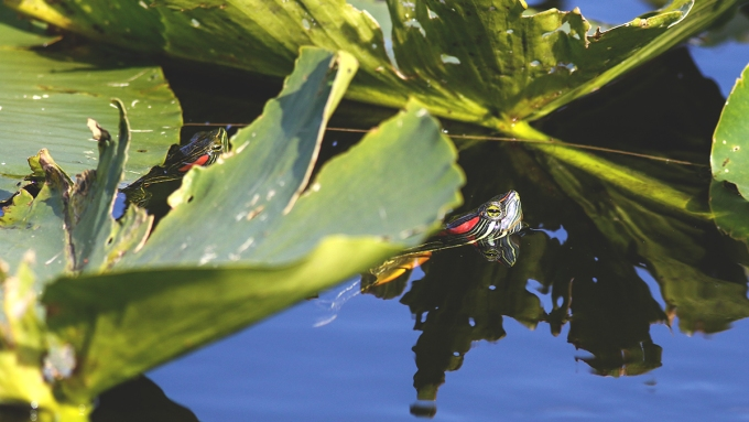 Red-eared Slider | March 2020 | Alice Mary Herden