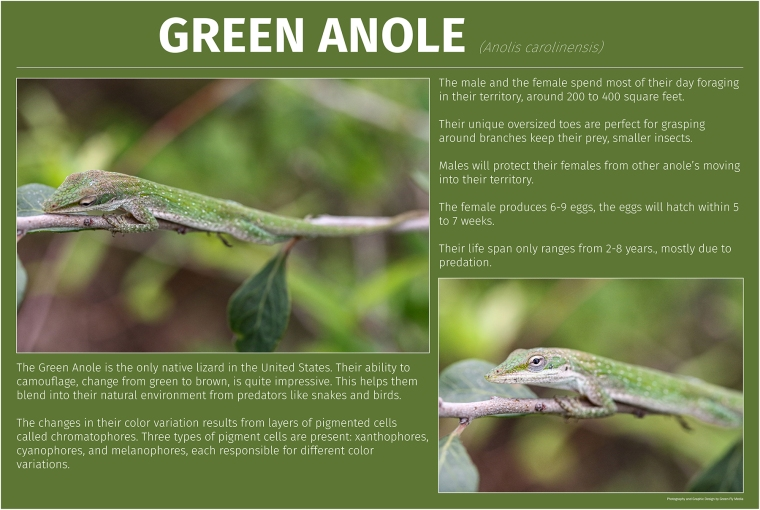 Green Anole-no video Small