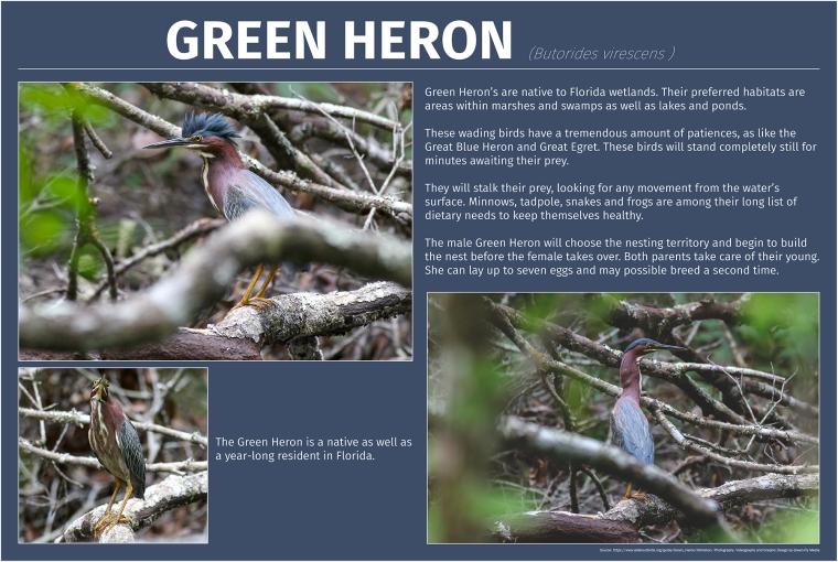 Green Heron-print-web