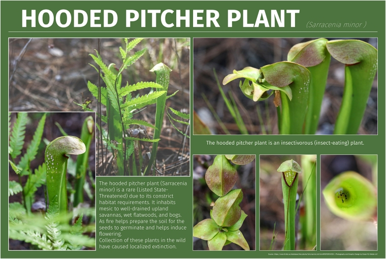 Hooded Pitcher Plant-Small