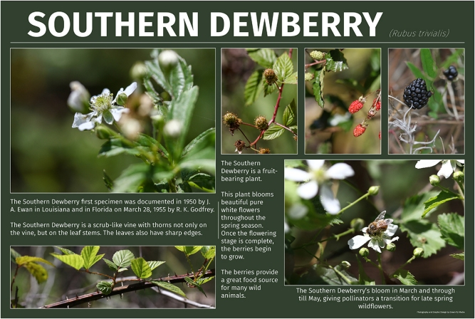 Southern Dewberry (Rubus trivialis)