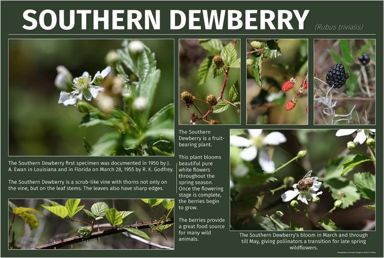 Southern Dewberry (Rubus trivialis)