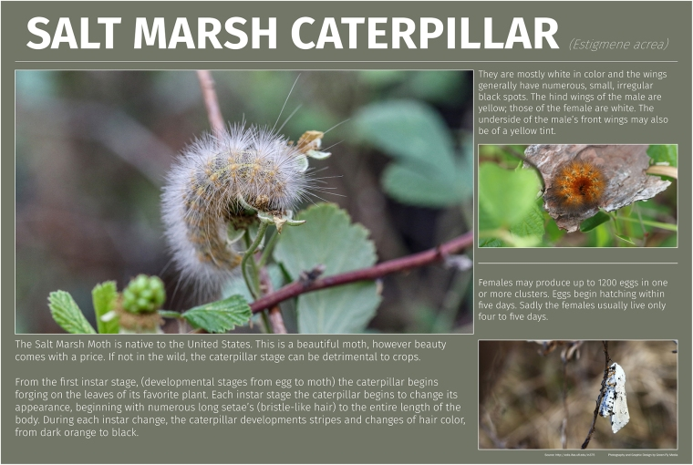 Salt Marsh Caterpillar_small