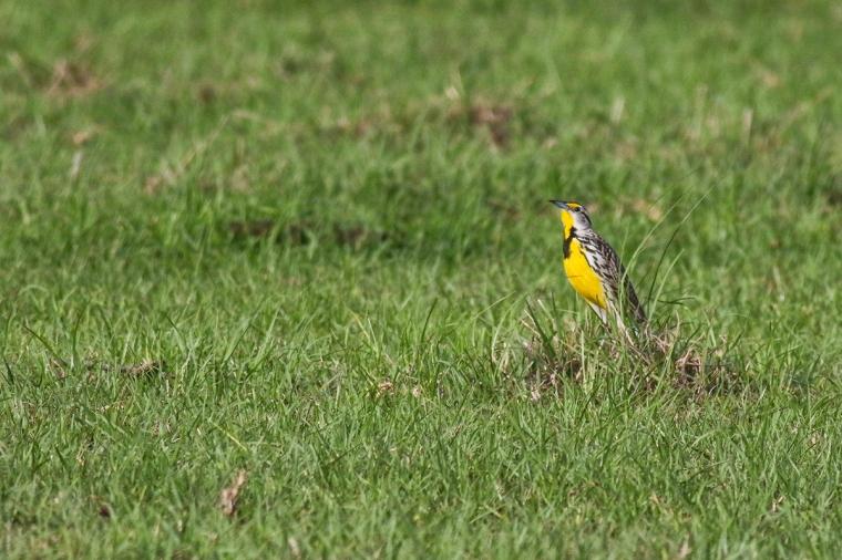 Meadowlark 4