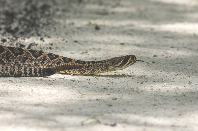 Diamondback WPEastern Diamondback Rattlesnake | Alice Mary Herden
