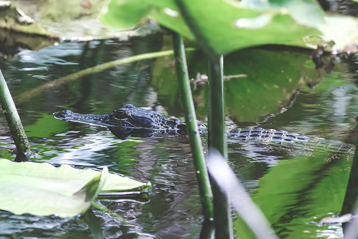 Wild Waters | American Alligator