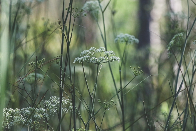Water Cowbane | Alice Mary Herden
