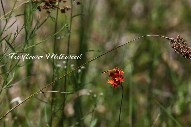 Fewflower milkweed