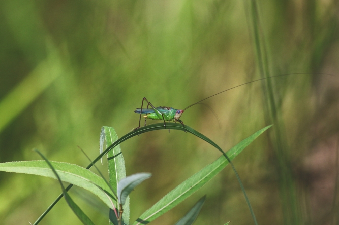 Handsome Meadow Katydid_