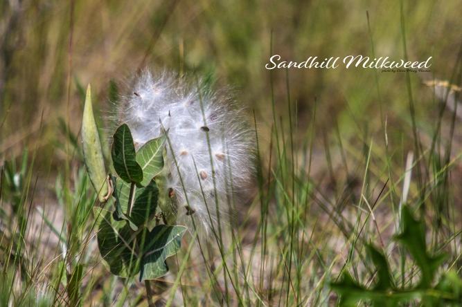 Sand Hill Milkweed