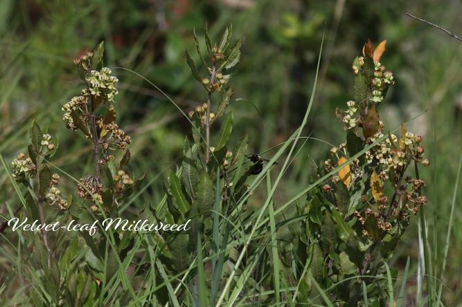 Velvet Milkweed
