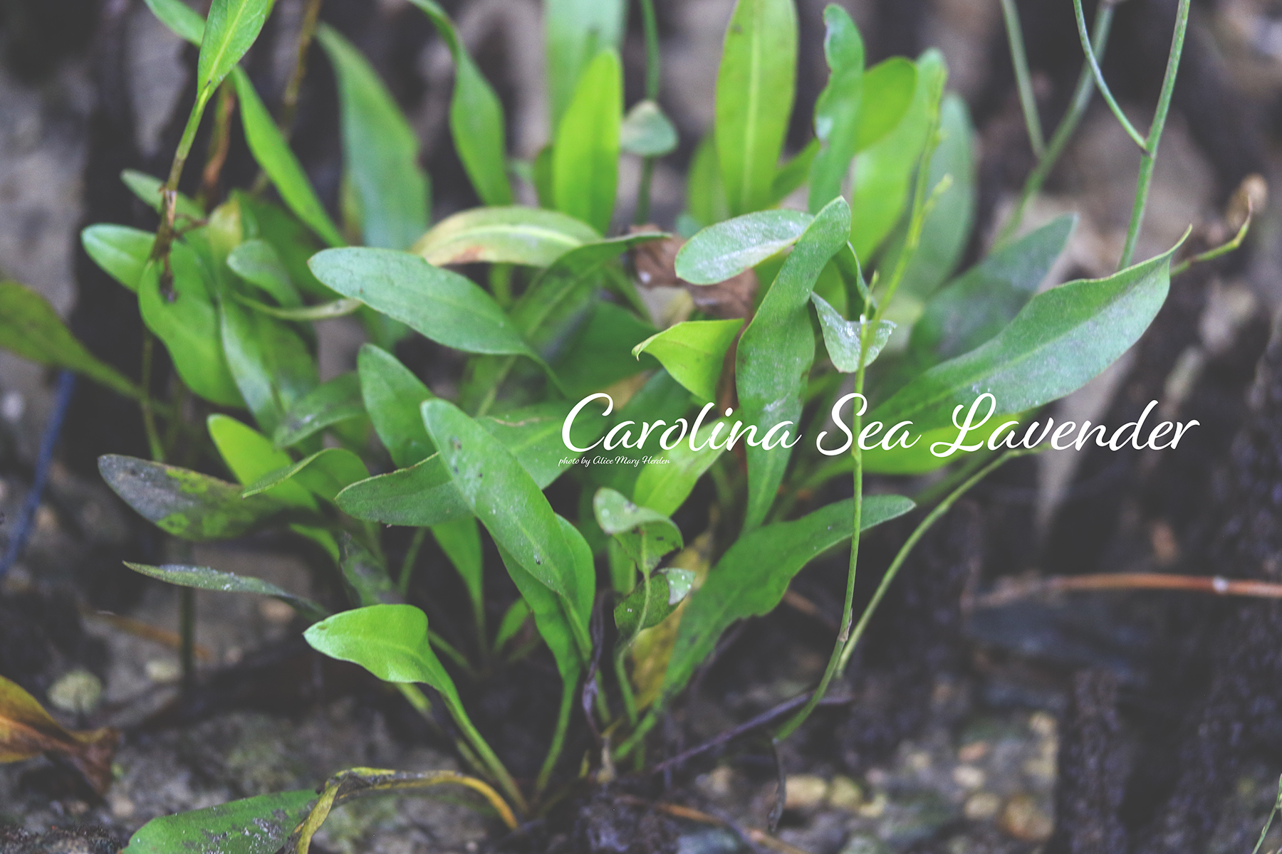 Wild Estuaries: Carolina Sea Lavender (Limonium carolinianum )
