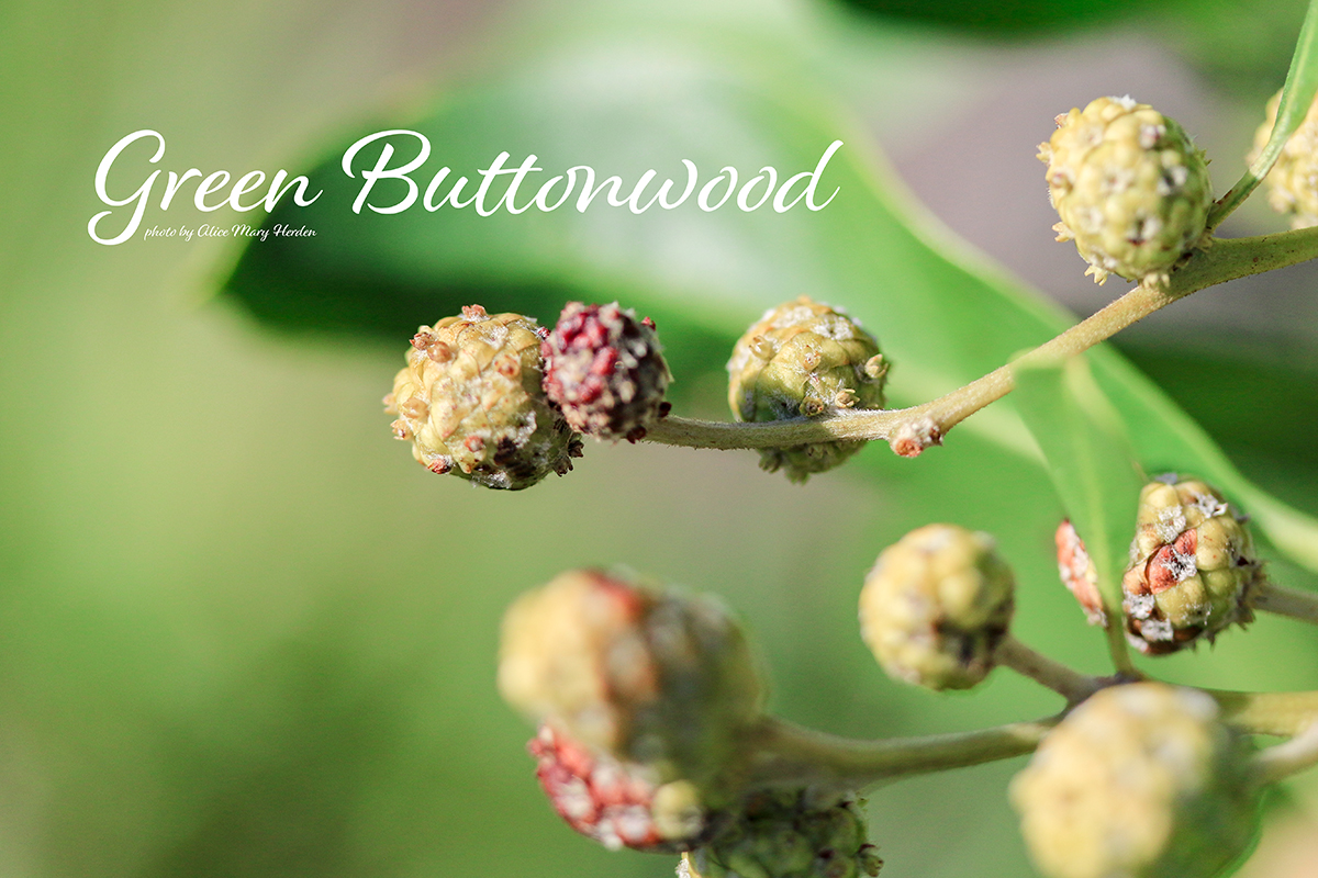 Mission Complete | Green Buttonwood