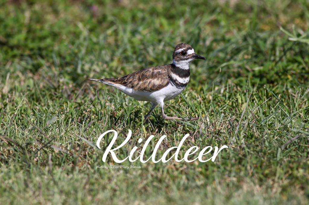 Killdeer | Photo by Alice Mary Herden