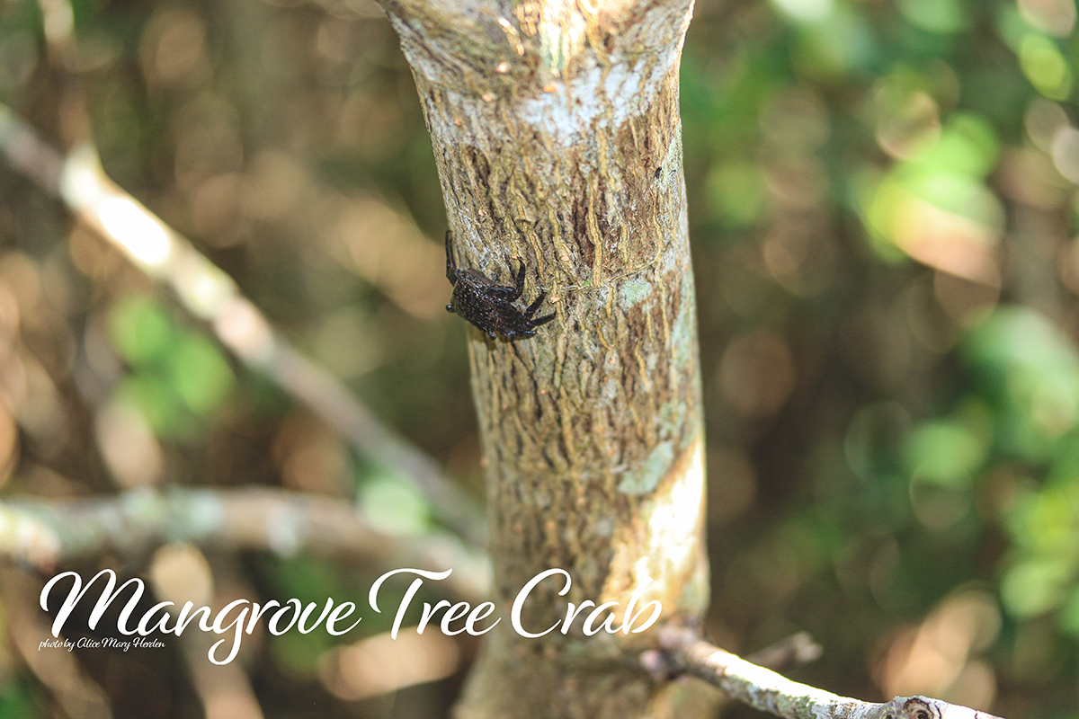 Wild Estuaries: Mangrove Tree Crab
