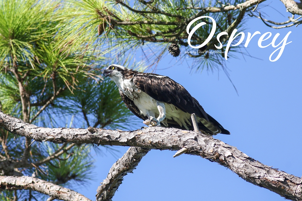 Osprey  | Photo by Alice Mary Herden