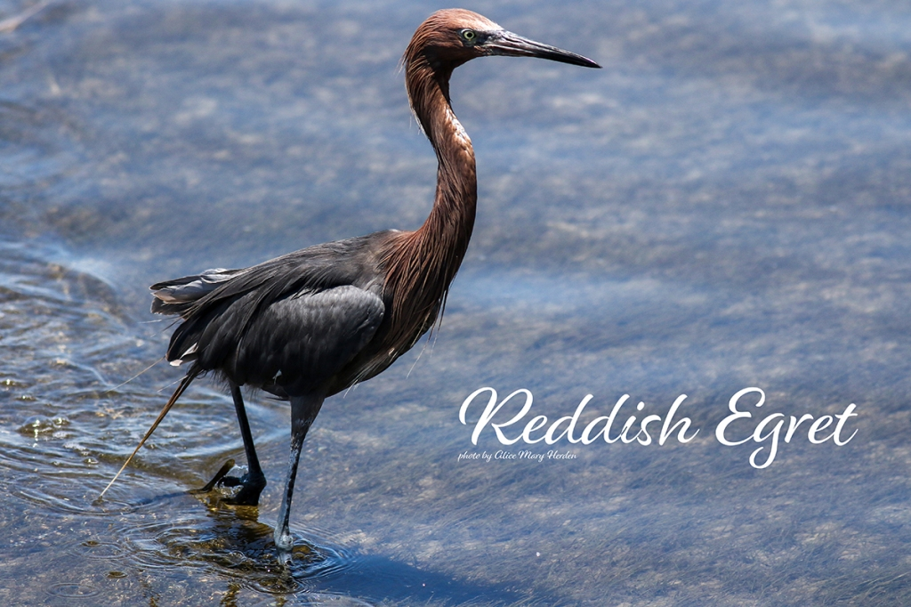 Reddish Egret  | Photo by Alice Mary Herden