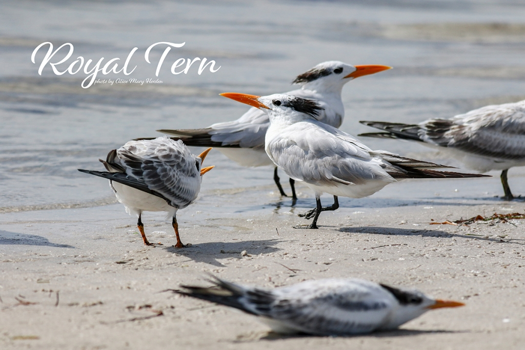 Royal Tern  | Photo by Alice Mary Herden