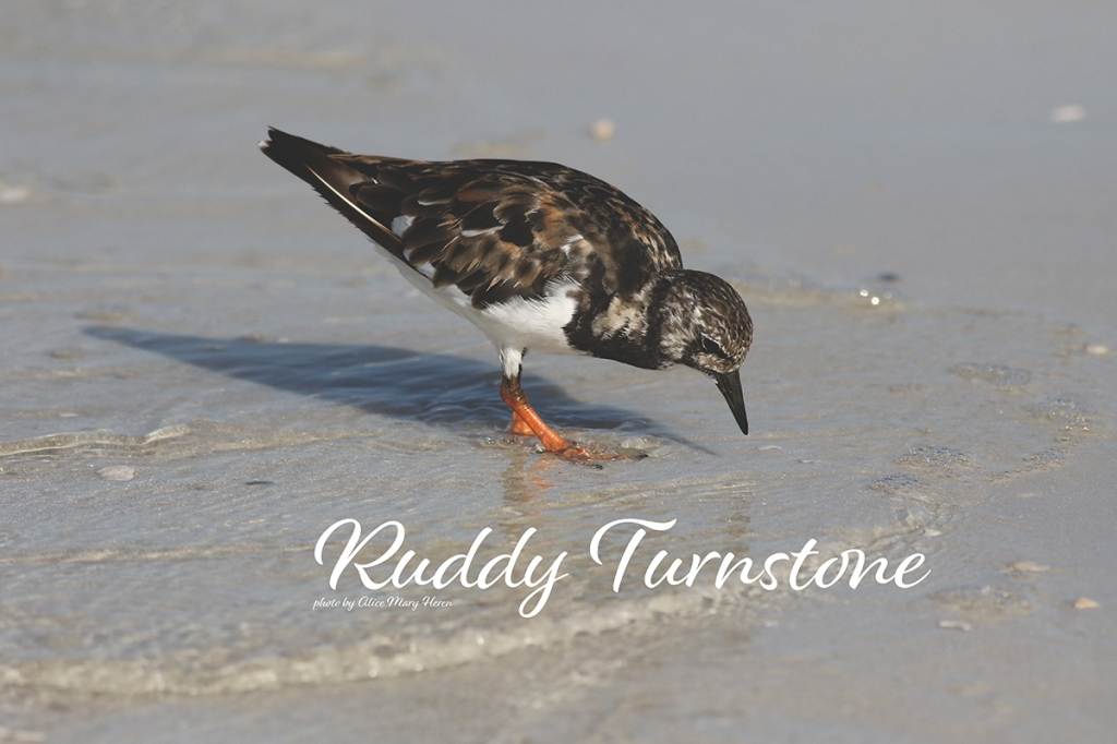 Ruddy Turnstone  | Photo by Alice Mary Herden