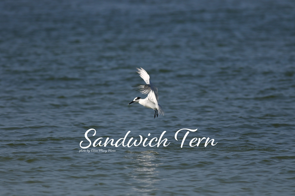Sandwich Tern  | Photo by Alice Mary Herden