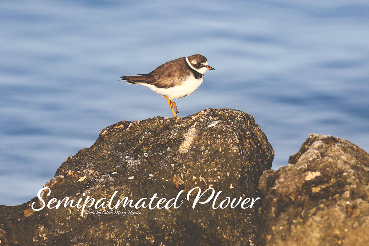Wild Estuaries: Semipalmated Plover